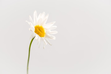 Gerbera Daisy, white on white