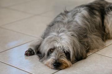 Cadela pedindo carinho, deitada no chão carente no olhar