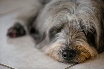 Cachorro preto e branco peludo de olho fechado e fuço aparecendo