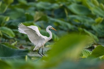 intermediate egret flapping its wings