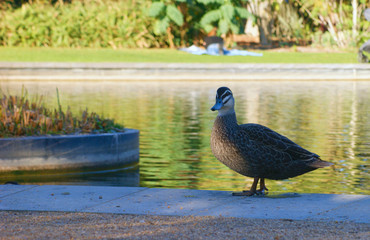 Duck at the side of a pond
