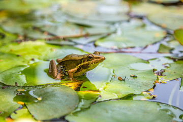 Frog on the lily leaf