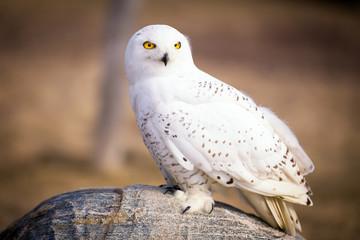 Fotomurales - Snowy Owl