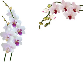 three light color orchid branches on white