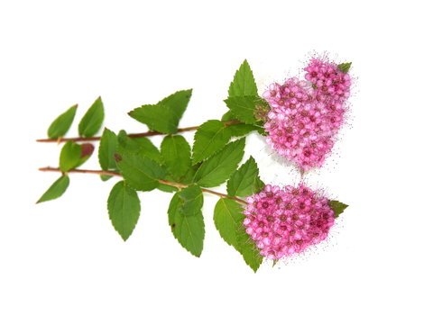 The Japanese meadowsweet Spiraea japonica with pink flowers isolated on white background