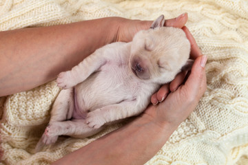 Woman holding newborn labrador puppy dog