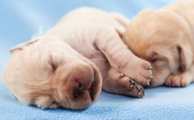 Newborn yellow labrador puppies sleeping