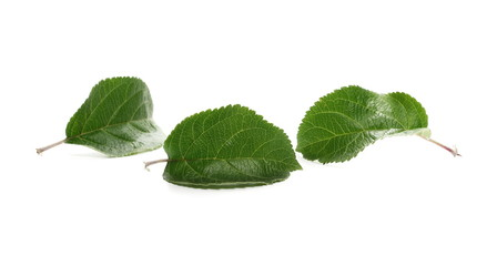 Apple tree leaves isolated on white background