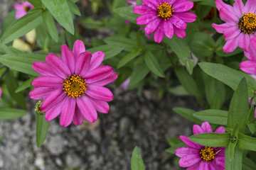 Beautiful Zinnia flowers in in the home garden.
