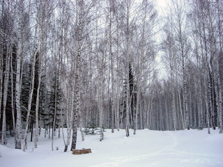 siberian winter forest taiga