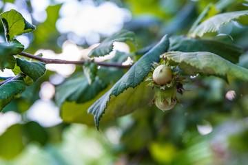 Hazel nuts on tree at the summer