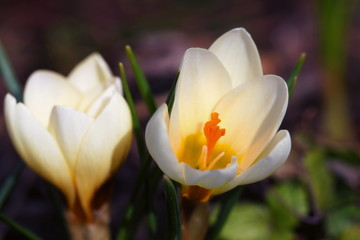 Crocus vernus - two blossoms of spring crocus are standing in the sunshine with a mixed blurry background