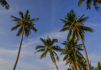 Top of coconut tree under blue sky