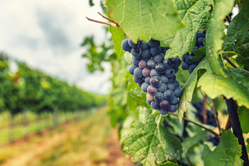 blue merlot grapes in vineyard