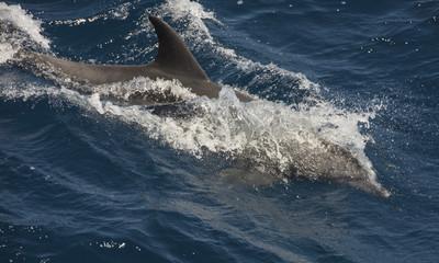 Bottlenose dolphin swimming on surface in open ocean
