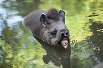 The tapir floats in the water.