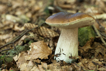 Autumn porcini background, agriculture boletus. Brown cap mushroom.
