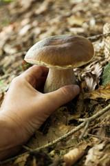 Autumn boletus, brown cep. Delicious culinary, wild penny bun, porcino or porcini.