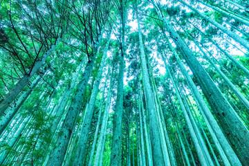 そびえ立つ杉林