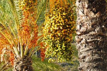 Ripe bunches of dates on date palm tree in green, yellow, orange and red colour. Machico, Madeira, Portugal
