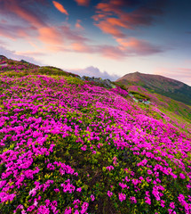 Colorful summer sunrise with fields of blooming rhododendron flowers