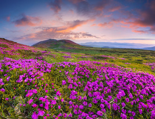 Colorful summer sunset with fields of blooming rhododendron flowers.