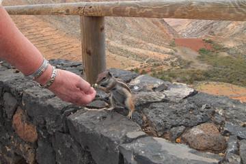 Streifenhörnchen, Fuerteventura