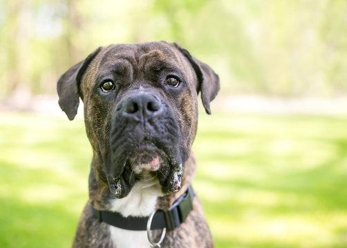 A brindle Cane Corso / American Bulldog mixed breed dog outdoors