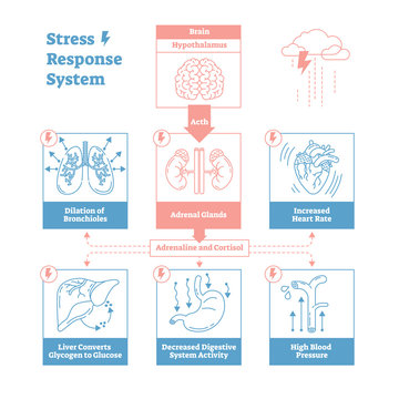 Stress response biological system vector illustration diagram,anatomical nerve impulses scheme.Simple and clean outline graphic design poster with educational information.