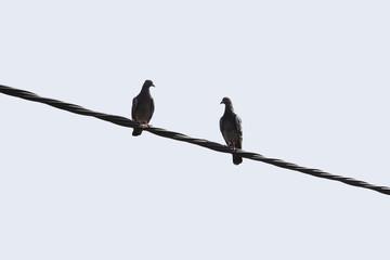 zwei tauben sitzen auf einer stromleitung
