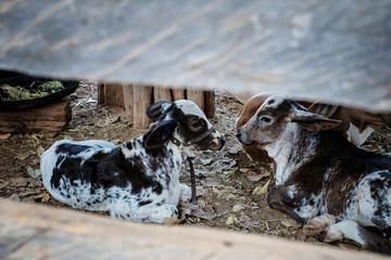 Animal Farm - Steers