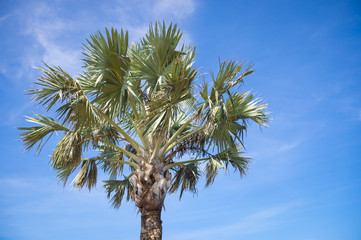 Closeup of the crown of a Palmetto Palm on a sunny day in South Carolina