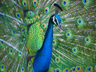 Beautiful blue Indian peacock