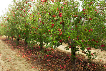 Wall Mural - Trees with red apples ready to picked in orchard