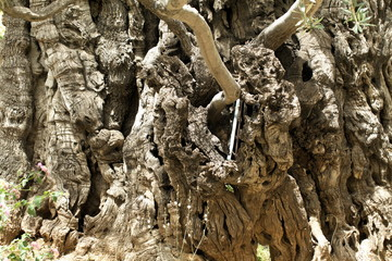 trunk and roots of the old olive tree