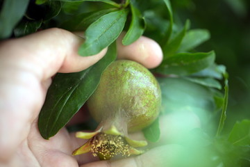 a blooming pomegranate tree. Fruits of immature pomegranates in hand closeup