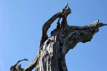 Twisted dead oak tree trunk.