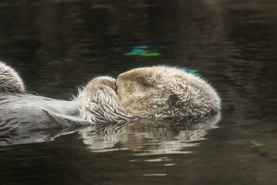 Closeup side view of a sleeping Sea Otter floating in water