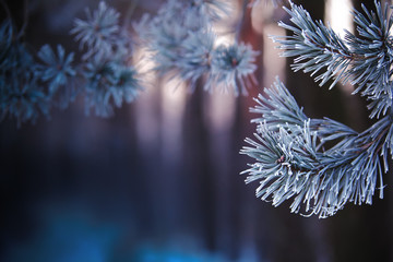 Christmas background. Frosty pine branches.