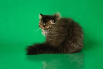 Cute fluffy Persian black grey tabby cat sitting back on green studio background