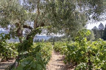 Peaceful vineyard with tree