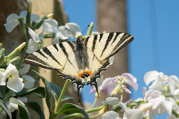 Swallowtail Butterfly feeding on some flowers