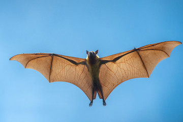 Flying bat (Lyle's flying fox)