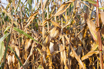 Field corn, agriculture