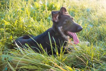 Happy german shepherd puppy playing