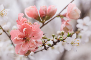 close up of pretty pink and white blossoms in spring