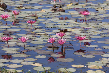 Water lily blossoming