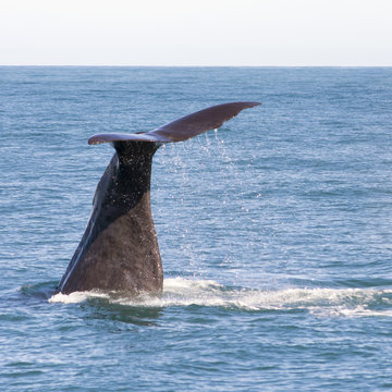 View on the tail of a large sperm whale in Kaikoura, when he started his dive into the water just after taking in oxygen. The waterdrops are to be seen falling of the tail into the blue water