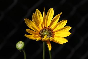 Obraz Słonecznik - fototapety do salonu