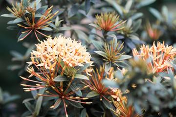 West Indian Jasmine (Ixora chinensis) Ixora coccinea Jacqueline